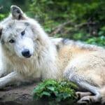 Факты про волков, о которых многие не знают