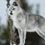 Дикие волки, опасно ли встретить в природе.