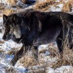 Разновидности волков