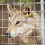 Волк спас свою волчицу из вольера, когда охотники крепко спали.