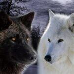 Чёрный и белый волк, внутри нас.