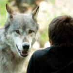 Волк знал дорогу, и помог мужчине который заблудился добраться к своим родителям через лес.