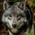Появление волка в дикой природе.