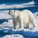 Среда обитания белого медведя.