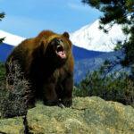 Среда обитания медведя гризли.