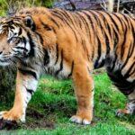 Среда обитания тигров