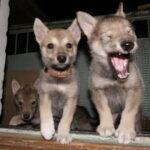 Собака привела в дом щенков, мы обрадовались, но через время оказалось, что они не её щенки, а щенки самого настоящего волка.