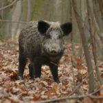 Дикий кабан знает куда идёт, как хищник встретил школьника в лесу и и пугал его не на шутку.