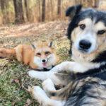 Собака и лиса теперь два неразлучных друга. Как питомица в первый раз привела хищника к деду во двор и что из этого вышло.