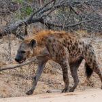 Характеристики и среда обитания гиены