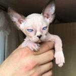 Кот породы двэльф отомстил необычным образом своей хозяйке за то, что та, отругала его за лень.