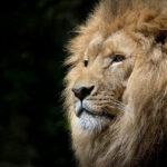 Характеристики, кормление, размножение и среда обитания львов.