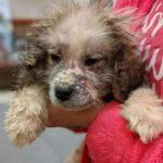 Пиренейский горный щенок находился в печально состоянии, пока его не заметил мужчина, и не протянул руку помощи.
