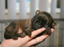 Пти-брабансон редкой породы щенок, но даже их можно найти на улице, из-за того, что кому-то они просто не нужен