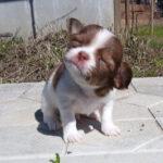 Щенок кобби был никому не нужен, из-за своего внешнего вида, но нашлись люди, которые смогли собаке помочь.
