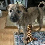 Шотландский дирхаунд появился у нас когда сын уехал в командировку, за год собака выросла более полутора метра