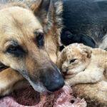 Немецкая овчарка вырастила двух львят после того, как мать отвергла их и бросила