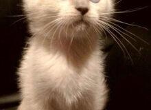 Котёнок породы кинкалоу попал в не удачную семью, и мне пришлось тайком забрать его от туда