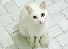 Белый кот каждый день выпрашивал в магазине мяса, которое он не ел. Продавец решил раскрыть его секрет, слезы сдержать сложно