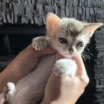 Котёнок сингапура купленный у цыганки вырос в кошку необыкновенной красоты