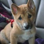 Новогвинейская поющая собака находилась в подъезде, так как её хозяева уехали куда-то на неделю, и мне пришлось принимать меры.