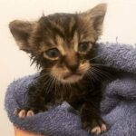 Пушистый котёнок преодолевал тридцать километров, чтобы вернуться обратно в деревню