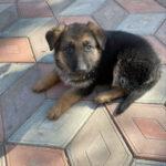 Щенок немецкой овчарки неожиданно пришёл к нашему дому, но когда собака выросла, то просто бесследно исчезла