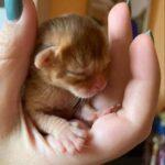 Абиссинский котёнок появился у меня в возрасте трёх дней, но я так и не поняла, что мне с ним делать