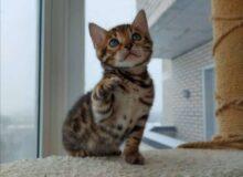 Бенгальский котёнок подошёл к двери моего дома, и начал громко мяукать. Оказалось, что от него отказались хозяева