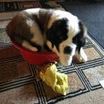 Приютили бездомного пса, но позже нам сообщили, что это щенок сенбернар. Показываю как он вырос.