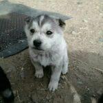 Щенок хаски, купленный на рынке за десять тысяч рублей, вырос и превратился в собаку неизвестной породы.