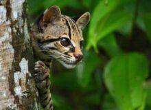 12 удивительно редких видов диких собак и кошек